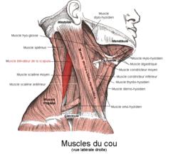 250px-Muscle_élévateur_de_la_scapula